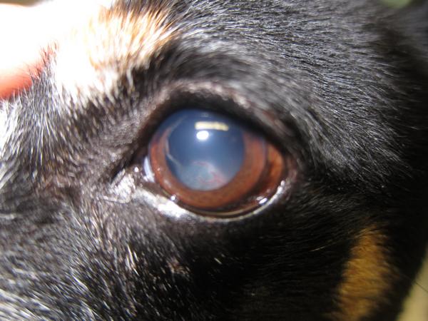 distacco retinico in un cane